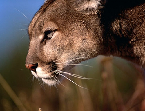 The Mountain lion or The Cougar in Evergreen backyard?