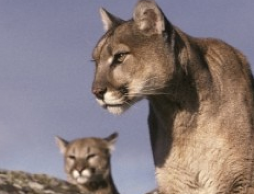 Cougar information presented by Colorado Parks and Wildlife
