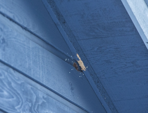 Woodpecker damaging siding